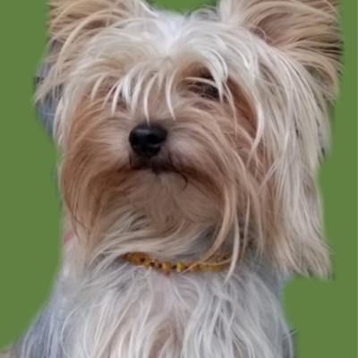AMBRE naturel brute-Colliers antitiques et antipuces pour chien
