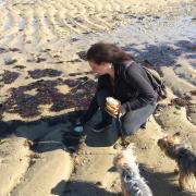 Ramassage de coquille st jacques sur les plages de Normandie