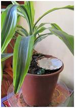 Coquille st jacques au pied d'une plante